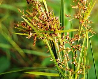 Khasiat Rumput Rija-Rija Untuk Kesehatan