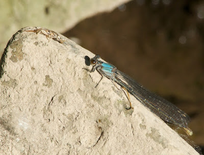 Powdered Dancer (Argia moesta)