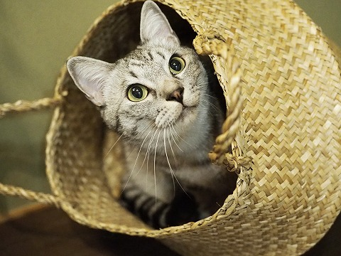 カゴの中から顔を出してるサバトラ猫