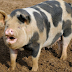 Farmer dies after pet pig bites off his d!ck and fingers during a fight