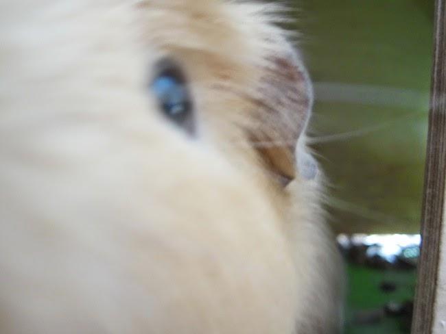 canela crestada americana