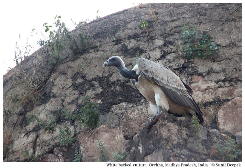 White-backed vulture, Orchha, Madhya Pradesh, India - Images by Sunil Deepak