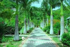 Palm radja-pohon palem untuk taman
