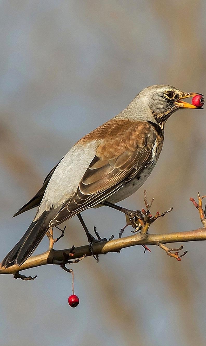 A bird enjoying a red berry.