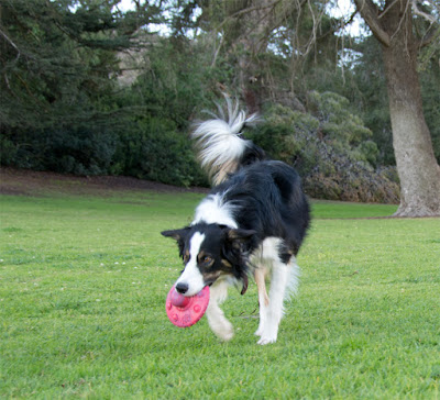 Tough candy-scented rubber frisbee for dogs