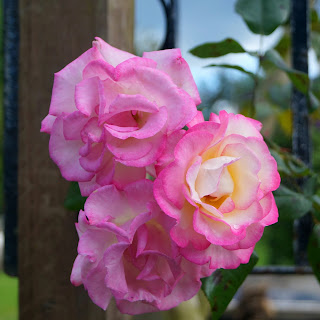 Pink climbing rose - www.growourown.blogspot.com ~ an ecotherapy blog