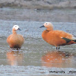 Ruddy Shelduck ( सुरखाब )
