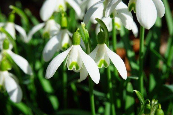 fiore Bucaneve