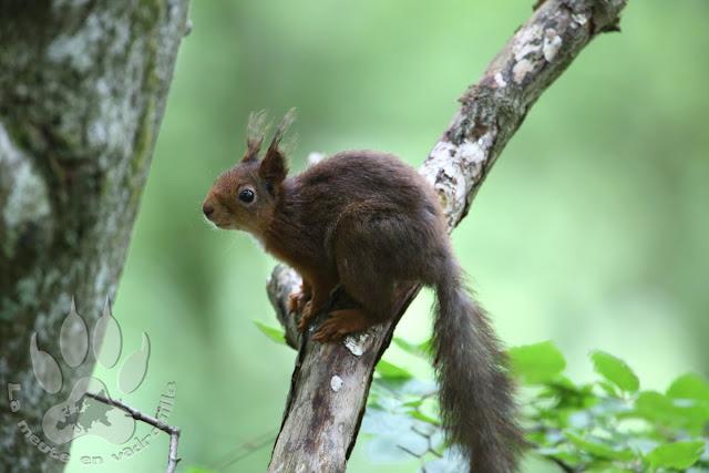 Suede-Scanie-parc-national-soderasens-ecureuil-roux