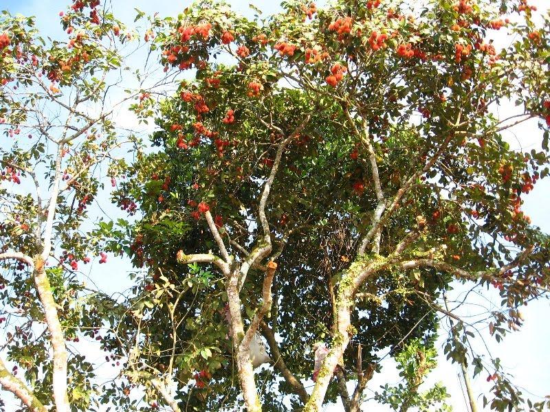 my thoughts and photos: Tree: Rambutan