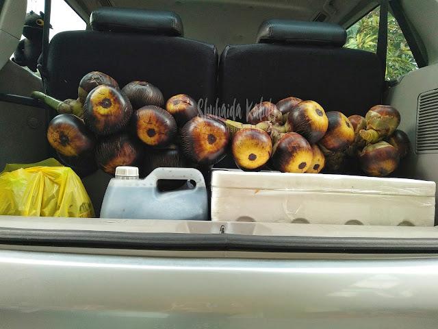 kelapa laut man java,pembekal kelapa laut