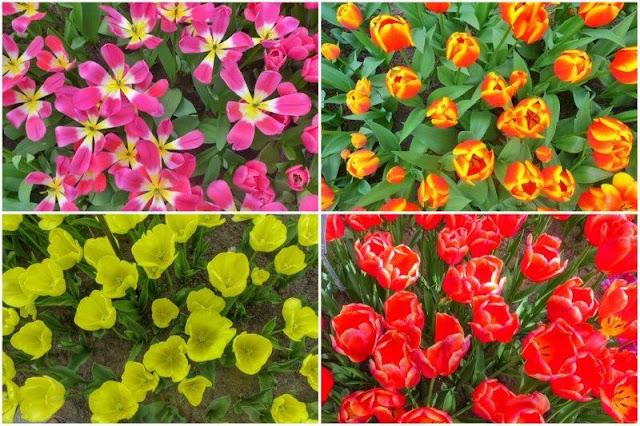 Flores en el parque floral Keukenhof