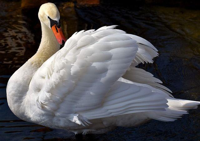 swan bird in hindi