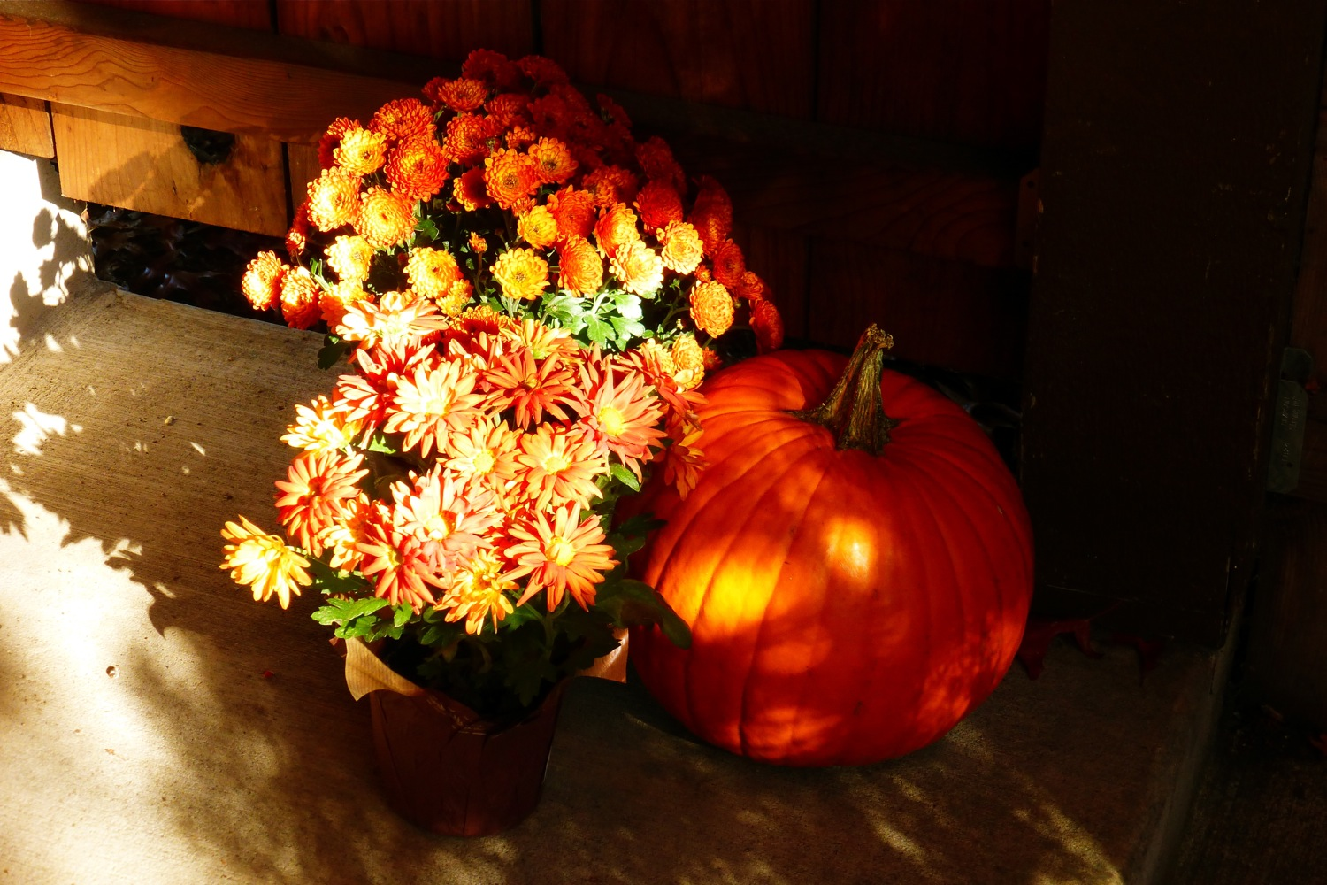 pumpkin and mums, autumnal light, autumn mums, fall colored mums