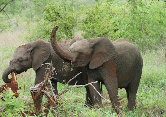 African Elephant Love Folklore Story