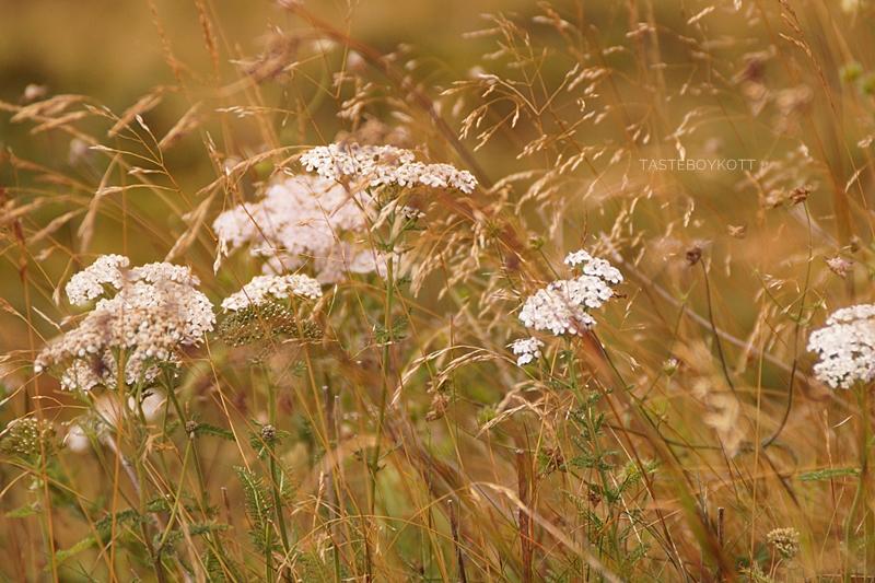 Urlaub im Lungau, Österreich, im Herbst: Wandern auf dem Speiereck: Wildblumen