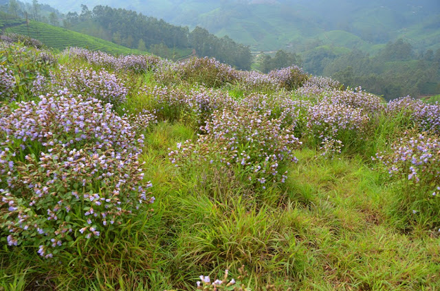 The rare blossoming of tropical flower - Neela Kurunji  Munnar Hill Station Kerala Pick, Pack, Go