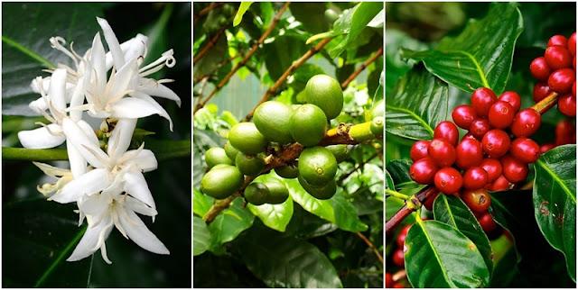 Cultura do cafeeiro (Coffea sp)