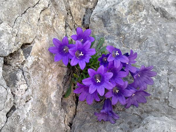 """""""Το λουλούδι του Ολύμπου που δεν υπάρχει πουθενά αλλού στον κόσμο"""""""