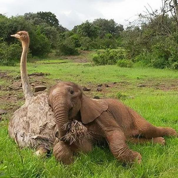 Cette autruche et cet éléphant orphelins sont devenus meilleurs amis!