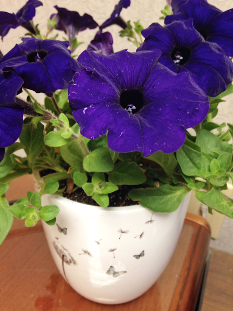 dark purple petunias