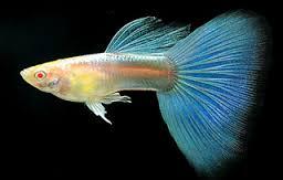 foto ikan molly