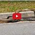 สุดยอดการดิ้นรนเพื่อเอาชีวิตรอดจากสัตว์น - งูยักษ์ต่อสู้งูเห่า Giant snake vs Cobra