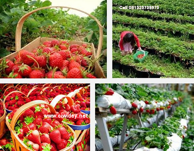Kawah putih ke kebun strawberry