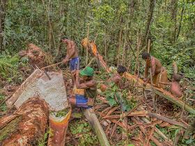 People of the nomadic Korowai forest tribe in Papua process the sagu palm. (Shutterstock.com/MirekNowaczyk)