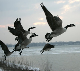 Quot Something Told The Wild Geese Quot Rachel Lyman Field