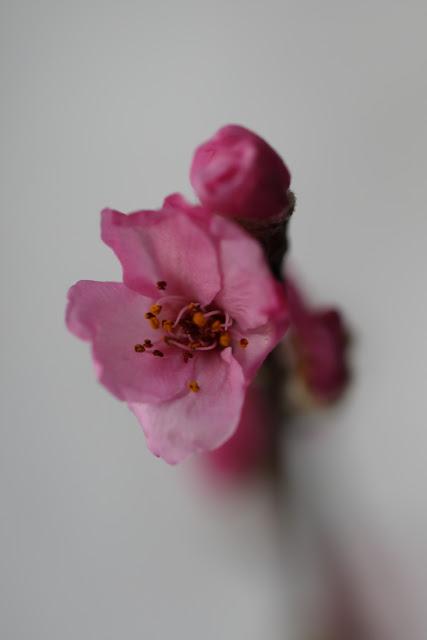 kirsikankukka, #kukkailottelua