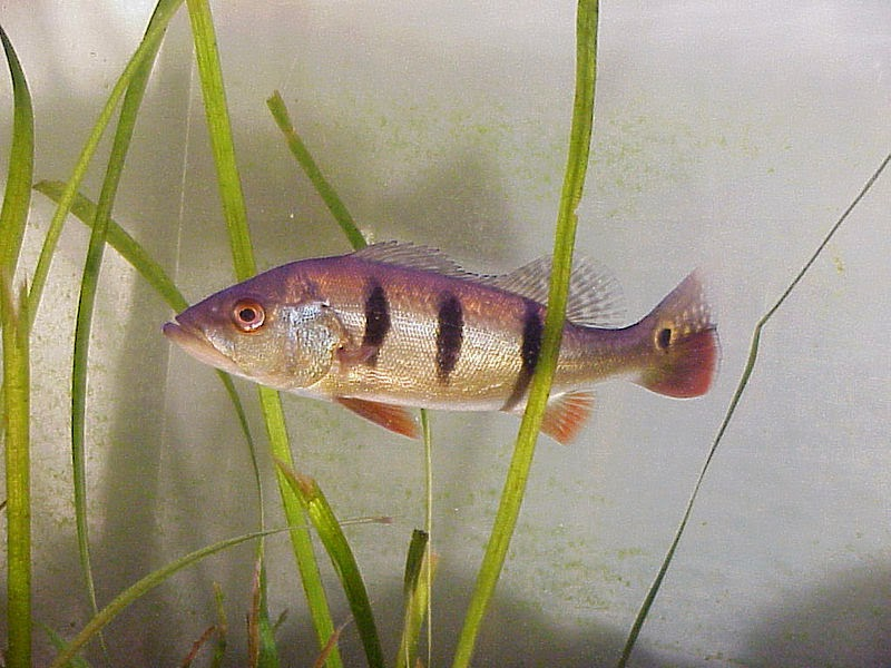FISGADO PELA IRA - Imagem Ilustrativa (Wikipedia)