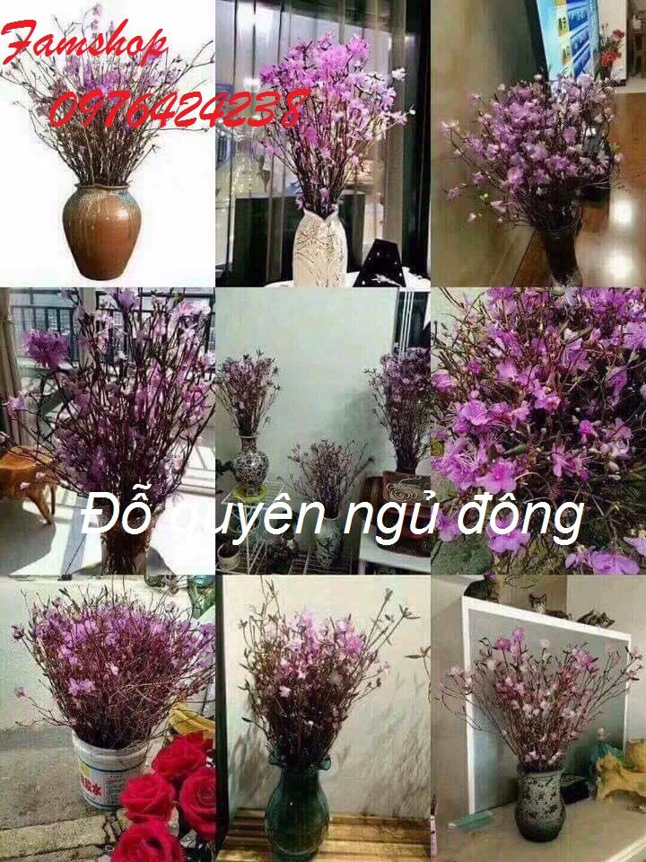 Hoa do quyen ngu dong o Dong Anh