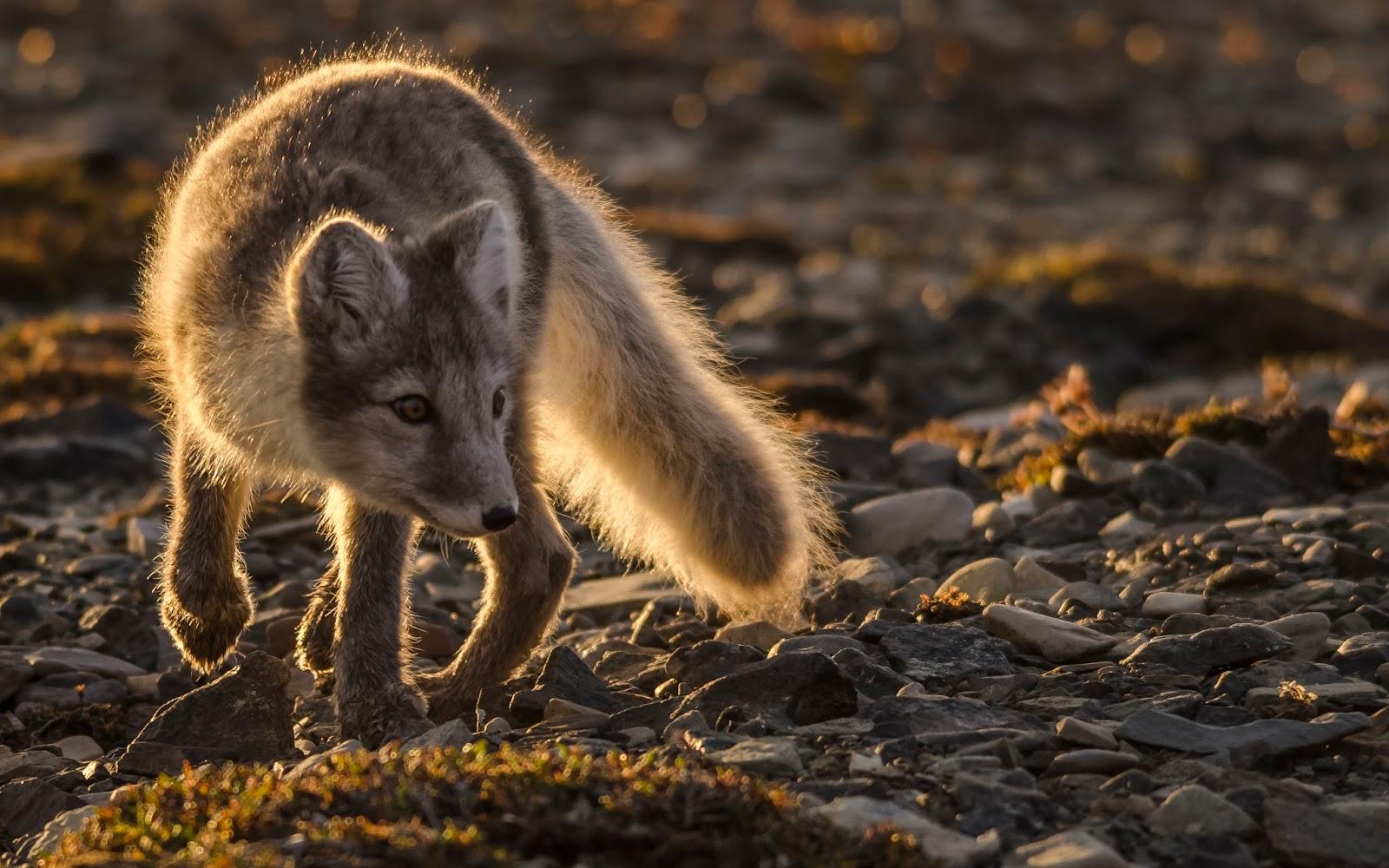 svalbard spitzberg randonnée renard