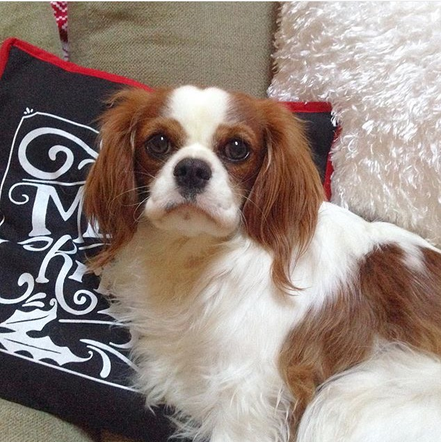 Blenheim Cavalier King Charles Spaniel on Christmas pillows