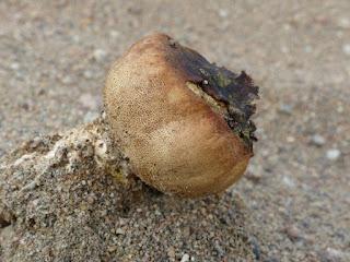 Scléroderme septentrional - Scleroderma septentrionale