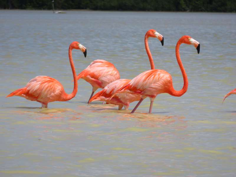 flamingos at Celestun