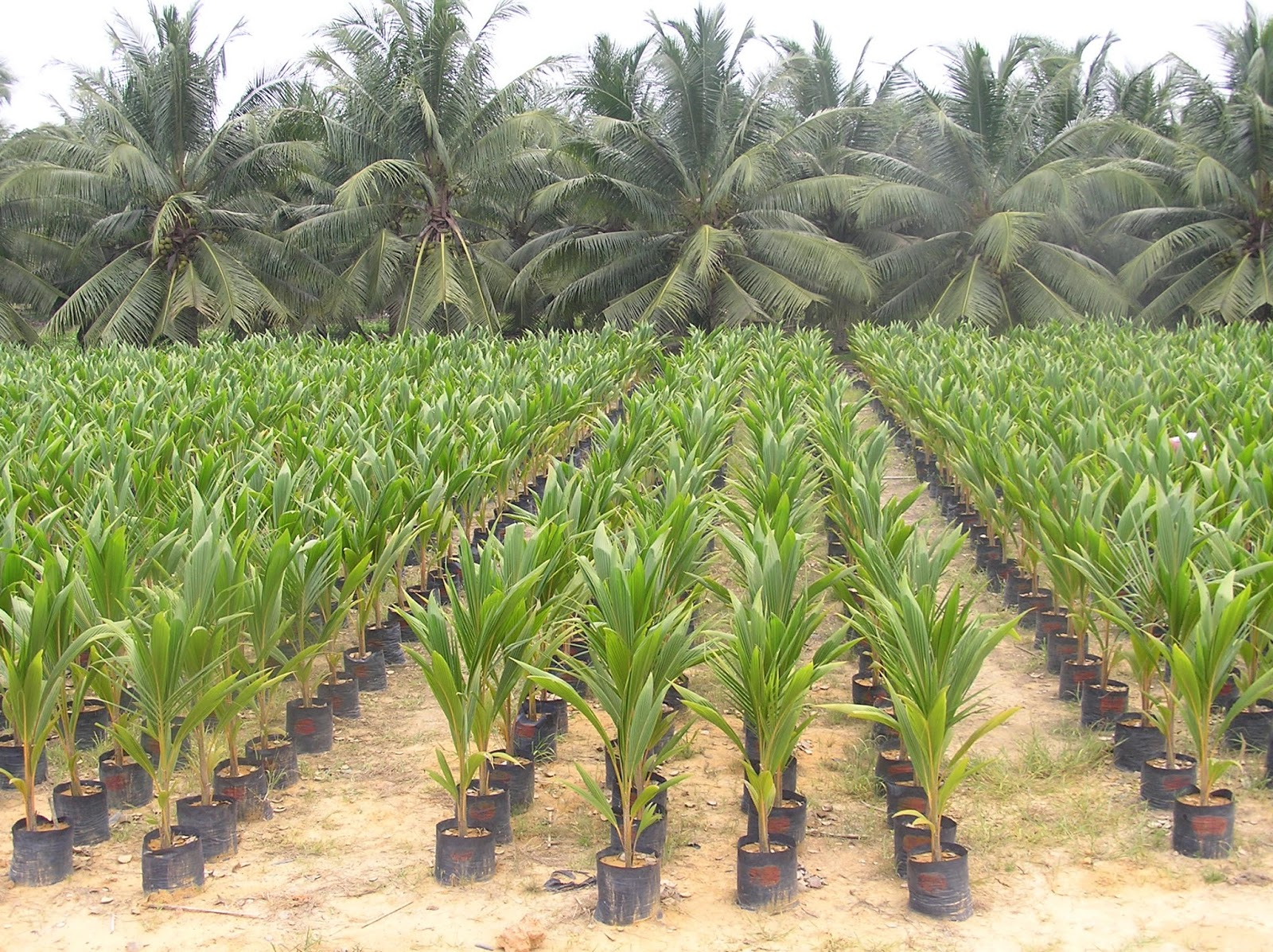 The Basics of Starting a New Coconut Plantation