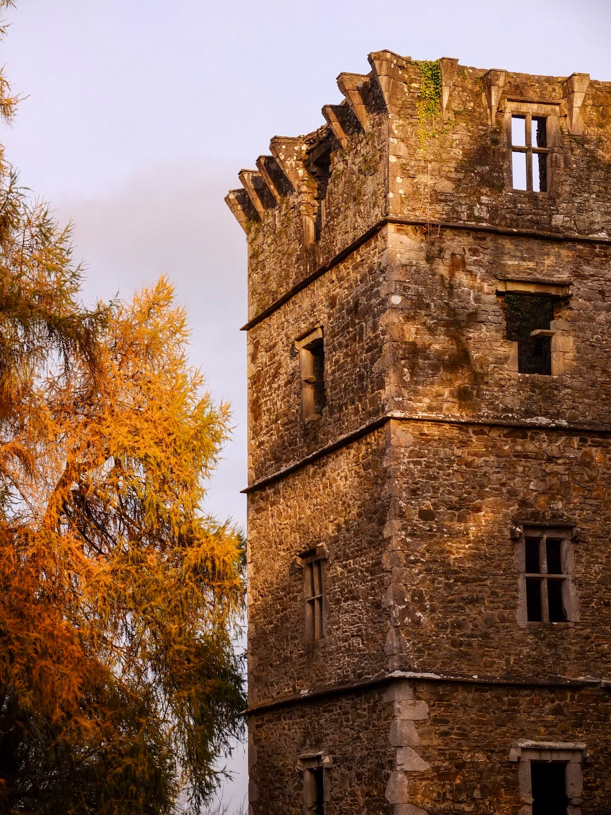 Autumn sunset light shining on conifer trees and a Kanturk Castle tower in North Co.Cork.