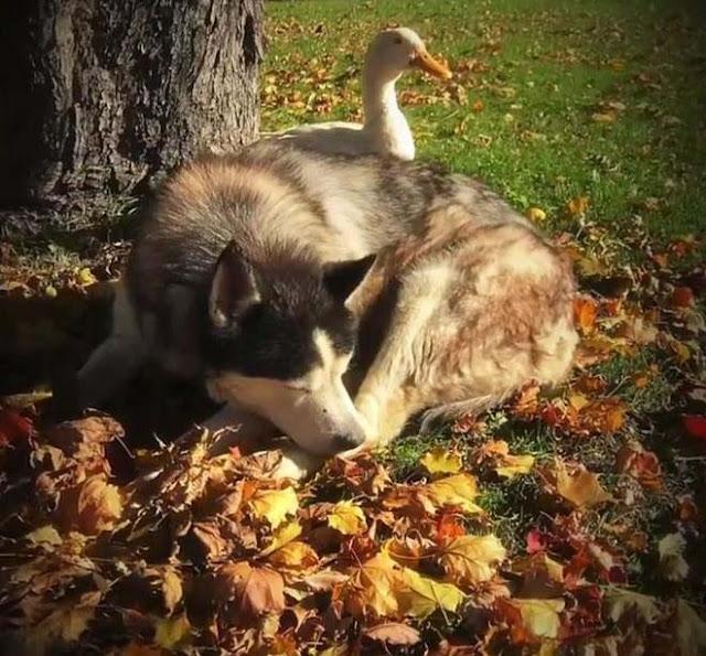 Chó và vịt là bạn thân