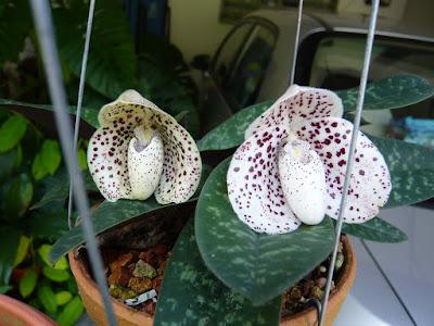 Paphiopedilum bellatulum care and culture