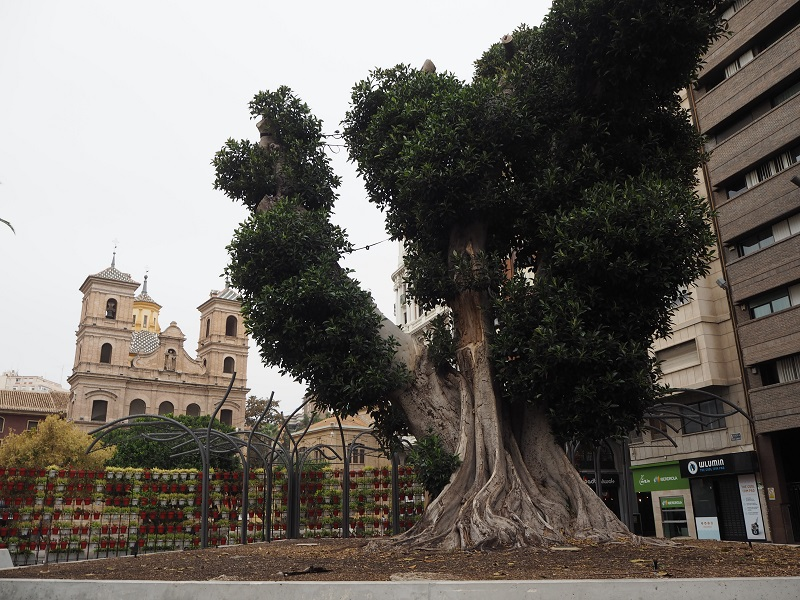 Large ficas tree in Santa Domingo Square Murcia