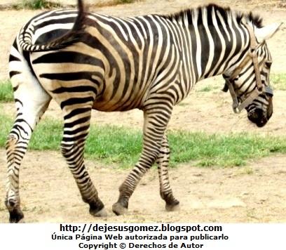 Foto de una cebra del Parque Zoológico de Huachipa tomada por Jesus Gómez