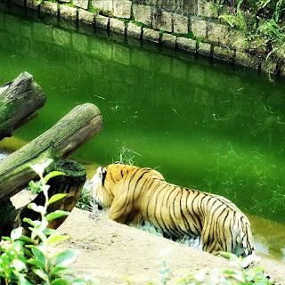 Jaula do Tigre no Parque Zoológico de Sapucaia