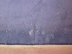 Cloths moth empty casings on the carpet