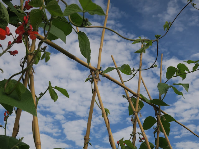 Runner bean poles with flowers and sky.