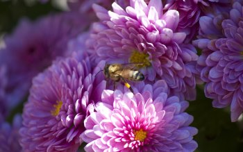 Wallpaper: Bee Collects Nectar