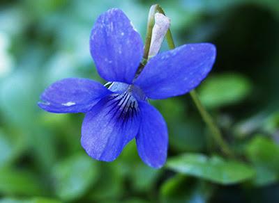 Flor violeta de Viola riviniana