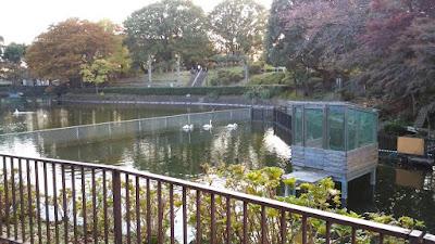 白鳥が住む池