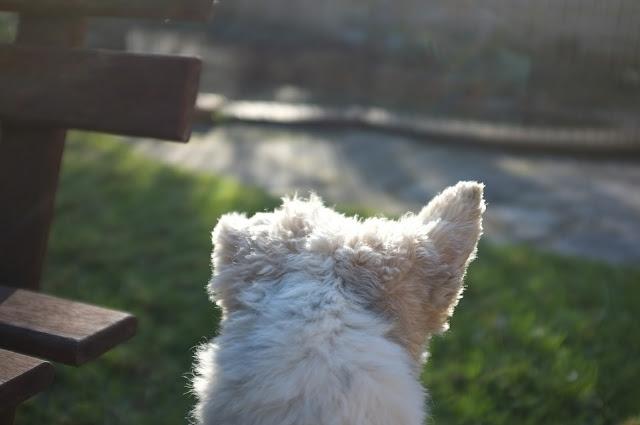 dog head ears silhouette in morning light
